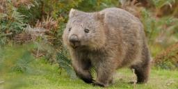 Common-Wombat.jpg